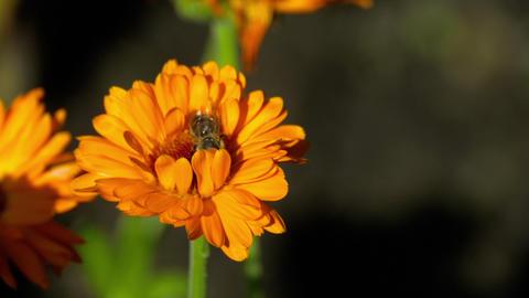 Bee on a orange marigold Footage