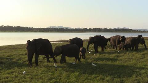 Wild elephants eating grass Footage
