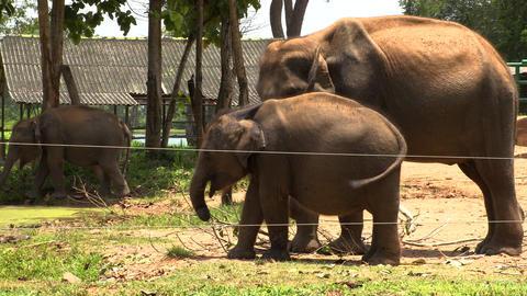 Group of Elephants in Sri Lanka Footage