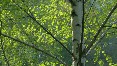 4K Ungraded: Birch Foliage Sways in Wind Footage