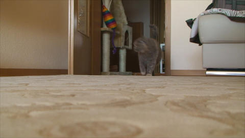 pregnant cat walks through the apartment Footage