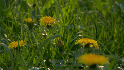 4K Ungraded: Yellow Dandelion Flower Heads Swaying in Wind Footage