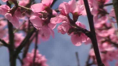 peach tree in blossom time Footage