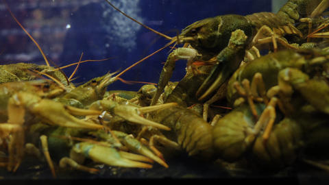 Live crayfish in a store for sale Footage