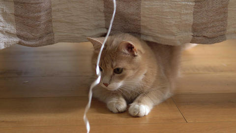 Cute ginger cat lying in bed under a blanket. Fluffy pet comfortably settled to Live Action