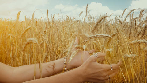 Close-up of of Woman's hand touching golden wheat field. Girl's hand touching Live Action