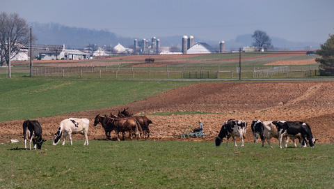 Amish Farmer Working and Cows フォト