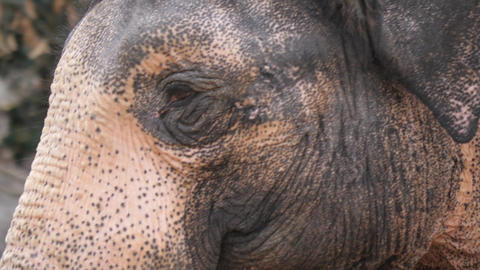 Close up of elephant's head as it walks- tracking shot Footage