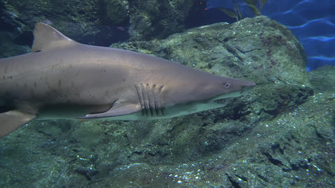Grey reef shark with a large jaw and strong fins hunts near the rocks. Predator Live Action