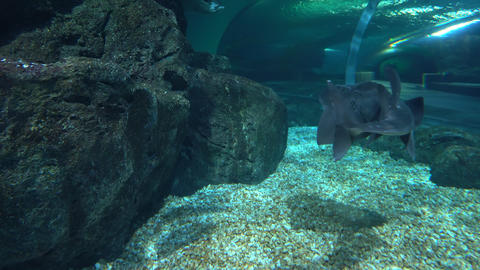 The great Spotted shark swims low over the seabed underwater. Leopard or Zebra Footage