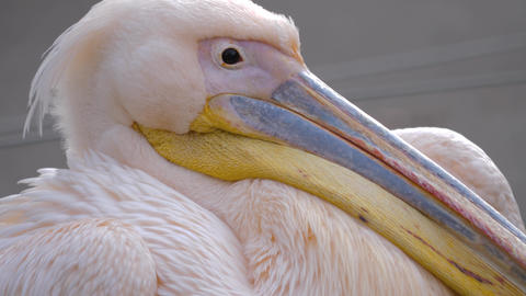 Close up of a rosy pelican with beak resting on chest Footage