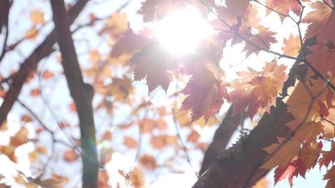 Sunlight shining through maple autumn tree at park Footage