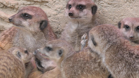 A group of playful meerkats, Live Action