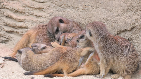 A pile of meerkats relaxing and playing Footage