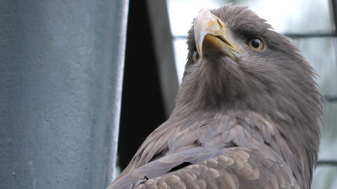 Close up of golden eagle staring and then looking side to side Live Action