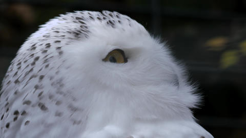 Snowy owl looks side to side Live Action