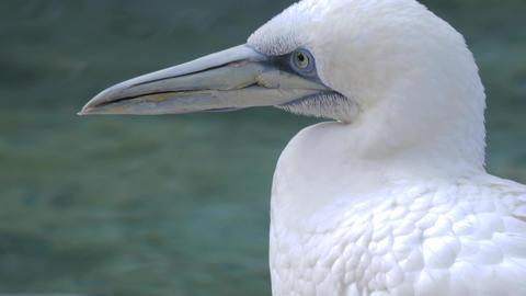 Close up profile of gannet facing left Live Action