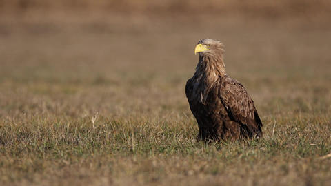 Adult white-tailed eagle, halitaeetus albicilla, sitting in natural environment Live Action