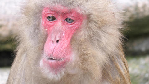 Japanese macaque looks around as it chews Footage