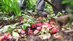 gardener cleaning vegetation in garde Footage