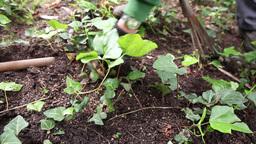 gardener cleaning vegetation in garden Live Action