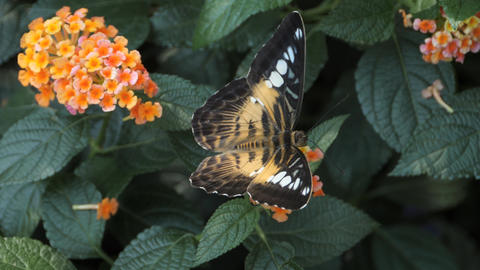 Parthenos sylvia, Clipper moving from flower to flower Stock Video Footage