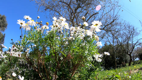 Panoramic view of daisies Footage