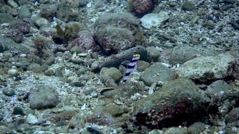 Black- rayed shrimpgoby 01 GIF