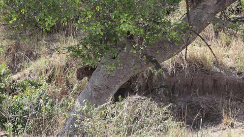 Leopard descends from the tree into the grass Footage