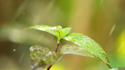 Tropical Raindrops Plant Foliage Nature Environment Live Action