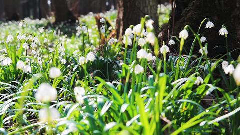 Group of spring snowflake leucojum near tree Footage