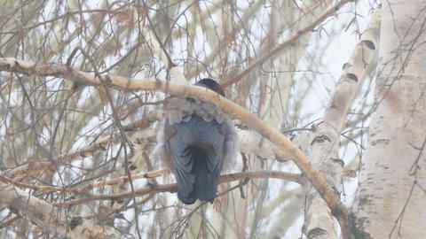 Gray crow sitting on a birch tree on a cloudy day Stock Video Footage