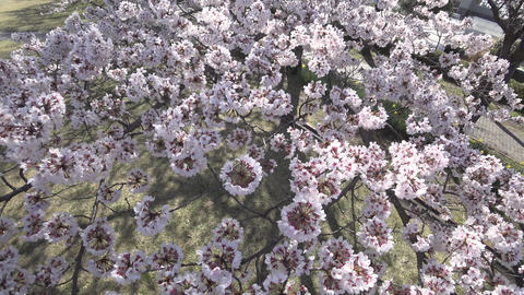 Closeup of Cherry blossoms in full bloom in a park in Tokyo Footage