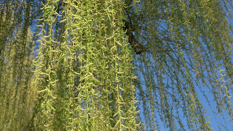 Spring willow branches. Spring willow tree in bloom Live Action