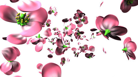 Pink flowers on white background CG動画