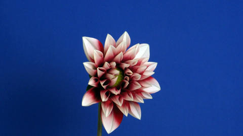 Time-lapse of blooming red dahlia 1 Stock Video Footage