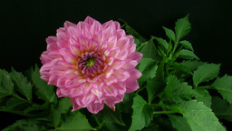 Time-lapse of blooming pink dahlia 1 Stock Video Footage