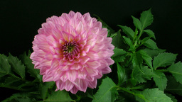Time-lapse of blooming pink dahlia 1 Footage