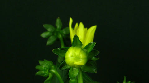 Time-lapse of blooming yellow dahlia 1 Stock Video Footage