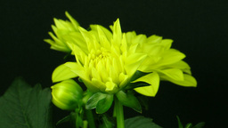 Time-lapse of blooming yellow dahlia 1 Footage