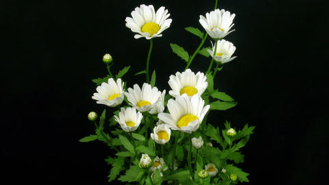 Time-lapse of opening daisy flowers 1 Stock Video Footage