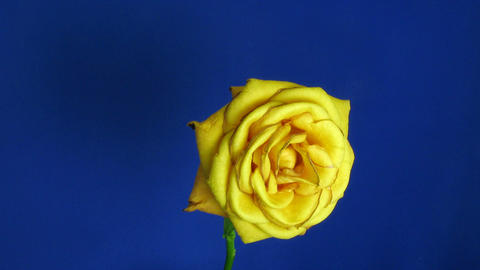 Time-lapse of dying orange rose 1 Stock Video Footage