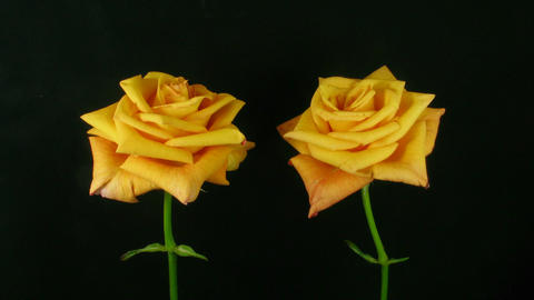 Time-lapse of dying orange roses 3 Stock Video Footage
