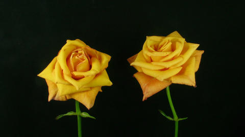 Time-lapse of dying orange roses 3 Footage