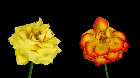 Time-lapse of dying yellow and orange roses ALPHA matte 8 Stock Video Footage