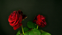 Time-lapse of two dying red roses Footage