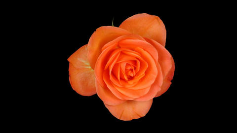 Time-lapse of dying orange rose ALPHA matte 1 Stock Video Footage