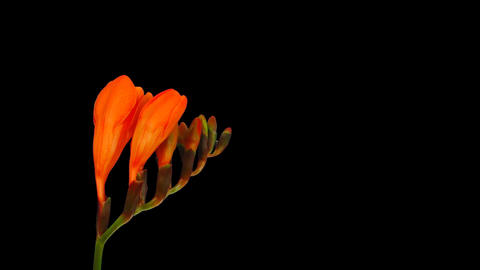 Time-lapse opening orange freesia flower buds ALPHA matte 1 Stock Video Footage