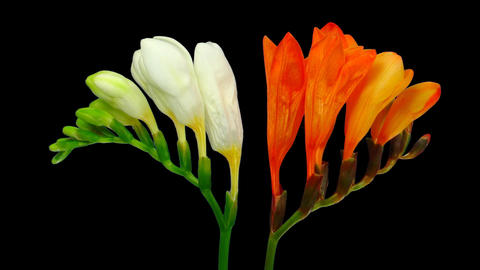 Time-lapse opening white orange freesia flower buds ALPHA... Stock Video Footage