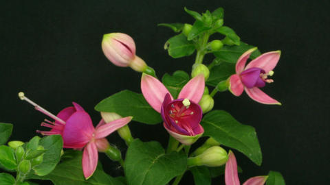 Time-lapse of growing fuchsia flower 2 Stock Video Footage
